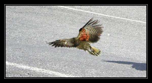Kea in flight by whoami2b