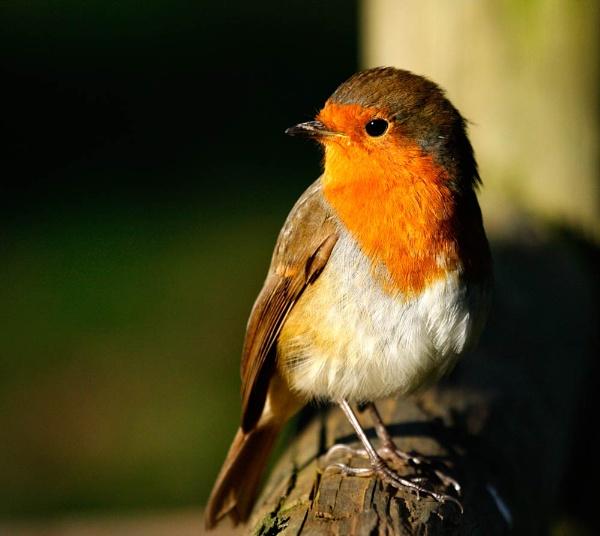Sunny Robin by Fearniespurs