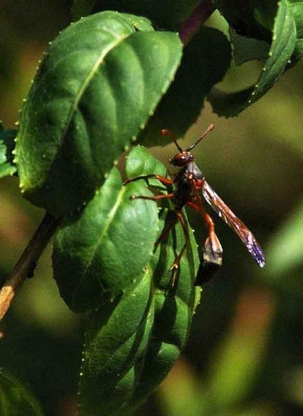 wasp cropped by ianofarabiaz