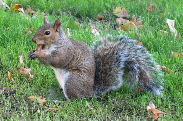 Squirrel with Acorn by MaveKel