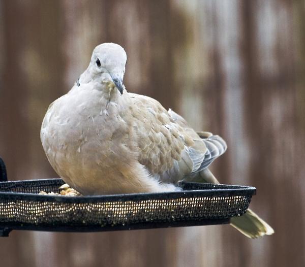 Dove by Jimmy31