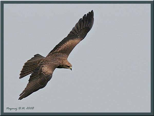 Tawny Eagle by nasoteya
