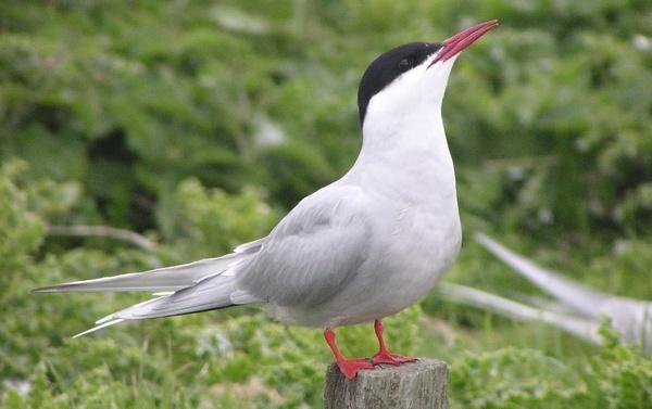 Arctic Tern on Inner Farne by spireite