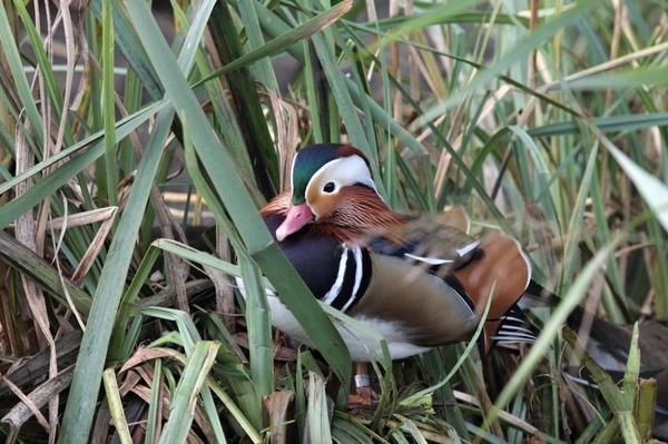 Mandarin Duck by ukdrifter
