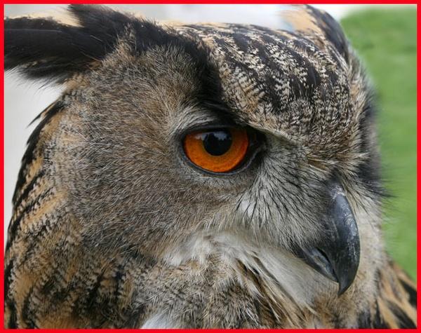 owl ** by chrisg7syt