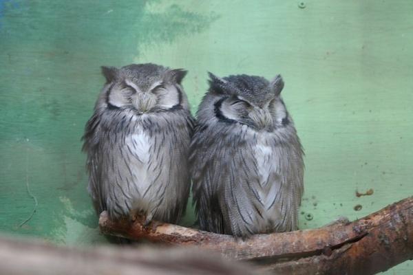 owls by samknox