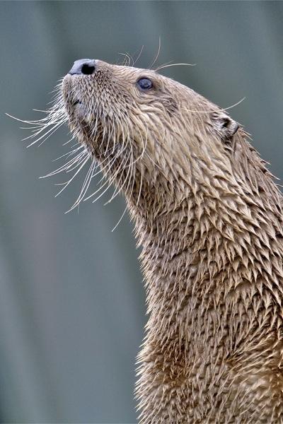 Otterly Posing by wildatheart