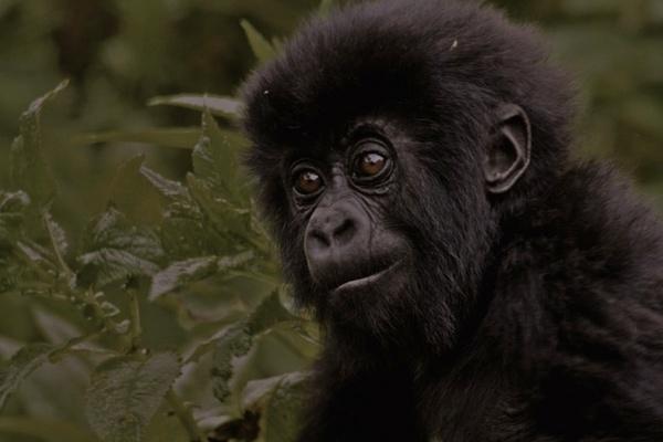 Baby Mountain Gorilla by wildatheart