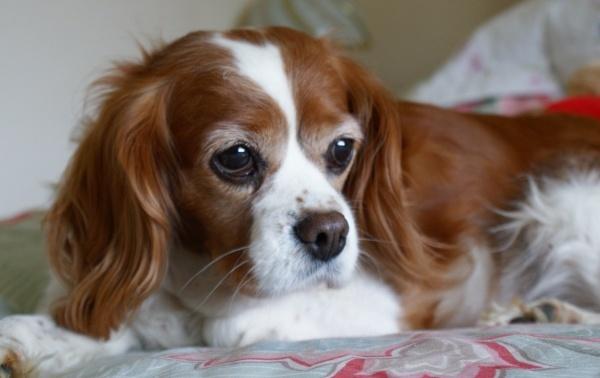 Perdi My Cavalier King Charles Spaniel by DebbieBMP