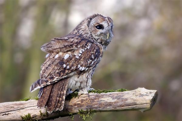 Tawny Owl by arhb