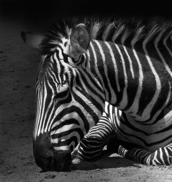 zebra! by beriah
