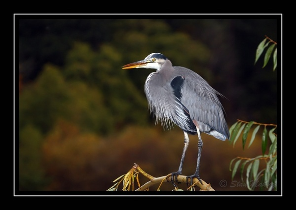 Autumn Heron by alpha788