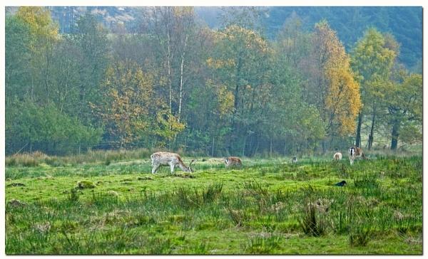 deer grazing by patman