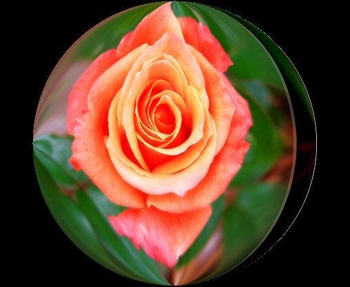 Rose by Bob_V