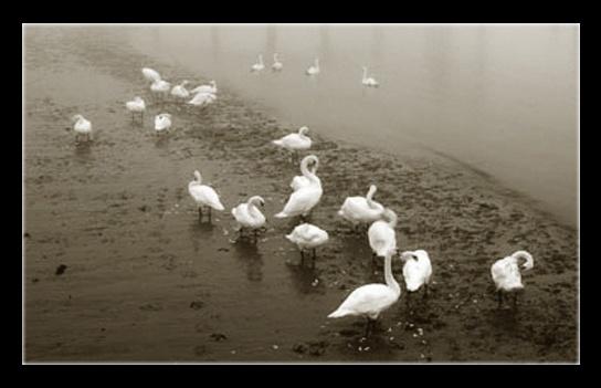 Swans in the Mist by derekhansen