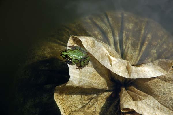A little frog by sepulturek