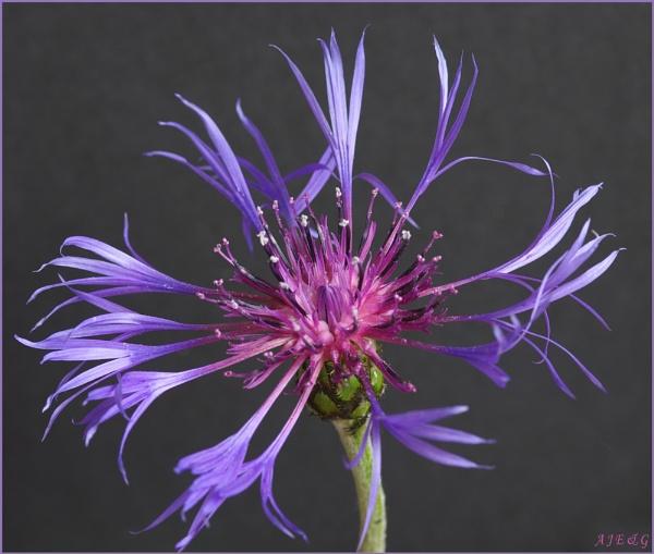 Centaurea by microchip