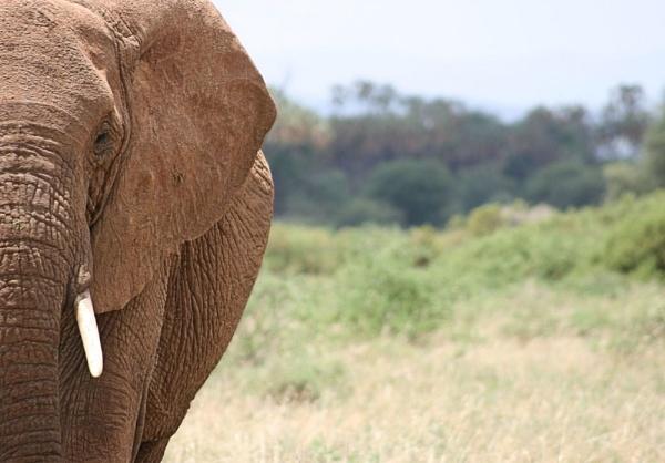 Elephants of Samburu by Costy