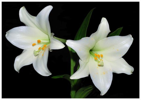 White Lilies by Stuart463