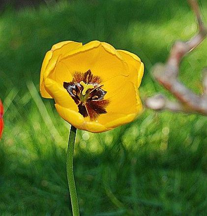 Tulip by WalidD300
