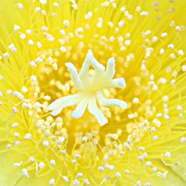 Yellow cactus flower by richardolivermartin