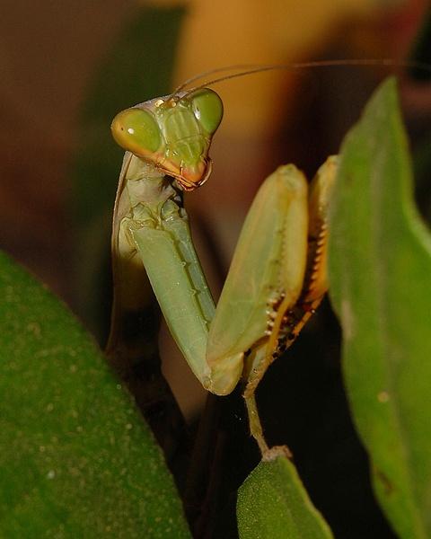 Praying Mantis by konu