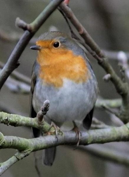Robin by ukdrifter