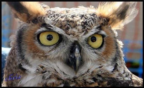 owl *** by chrisg7syt