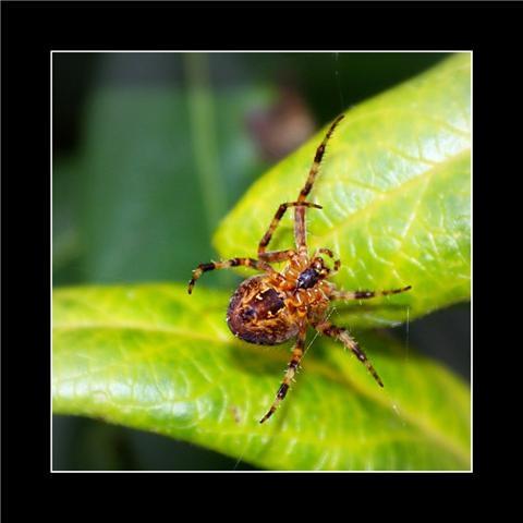 spider by stellabella