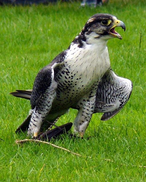 bird of prey by ChristineLaw