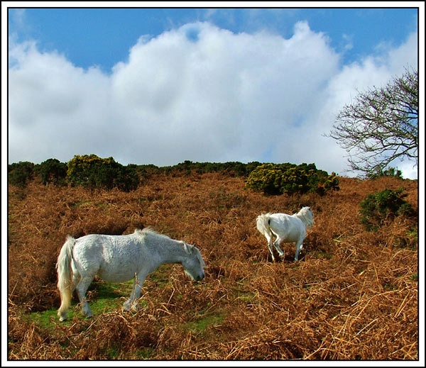 Dartmoor Ponies by Val Prowse