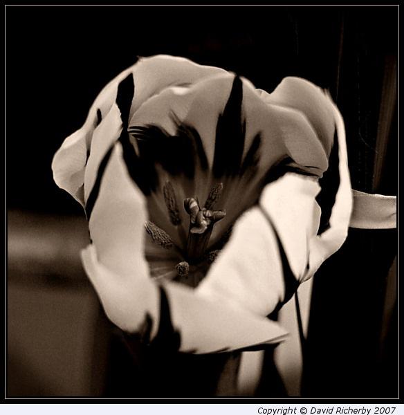 Tulip by DRicherby
