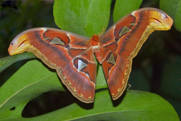 Atlas Moth by RobPhotonova