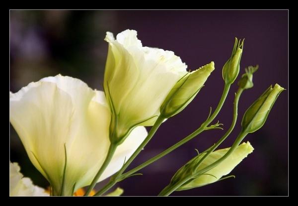 Roses... by Johan_Botha