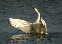 whooper swan by williamdsym