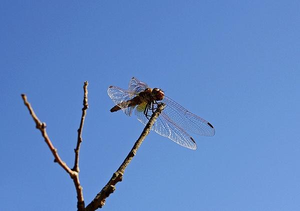 Dragonfly by JuliaGavin