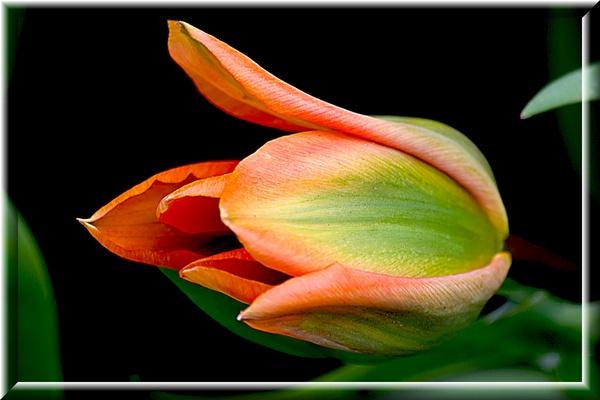 Tulip by akahmed