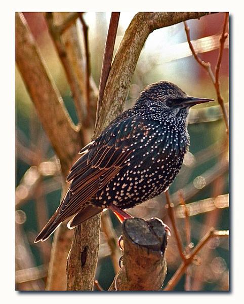 starling by patman