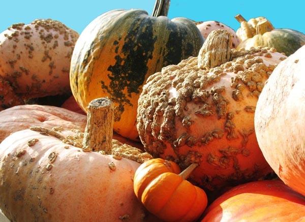Pumpkins by MaveKel