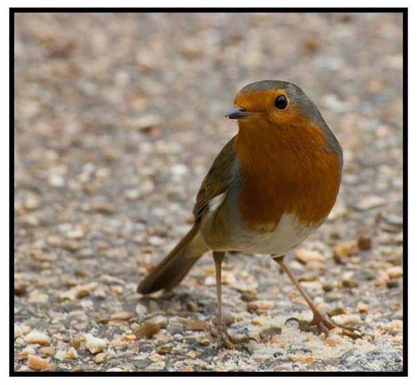 Robin by airfreq