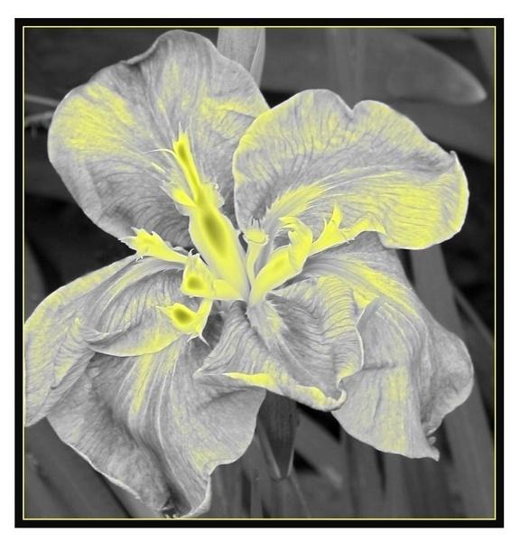Iris by airfreq