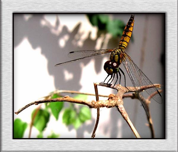 A dragon-fly by aquarius14