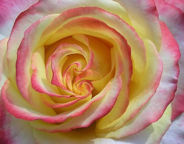 rose by MacroRebel
