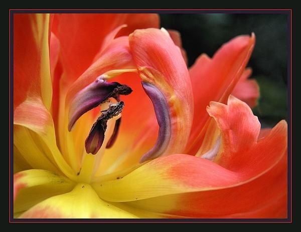 tulip by MacroRebel