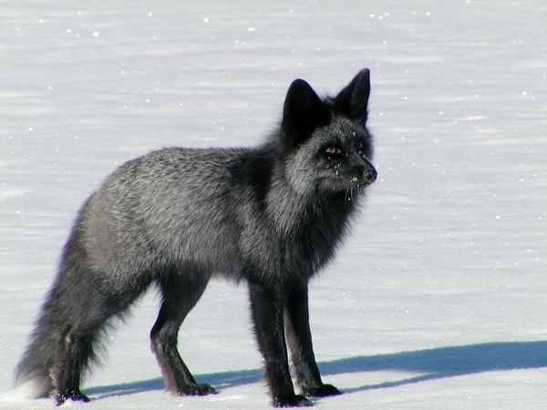 Silver Fox by StuartDavie
