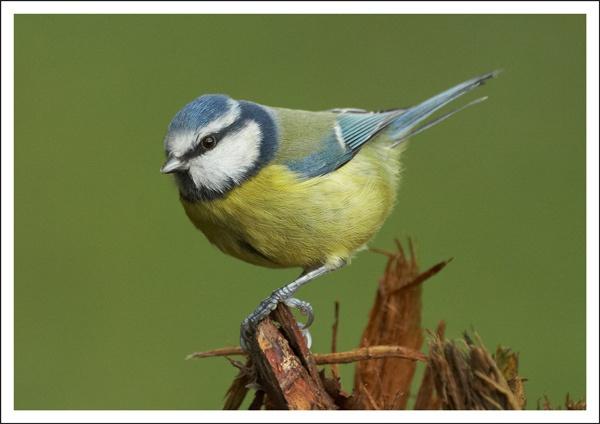 Little Bluey by DerekL