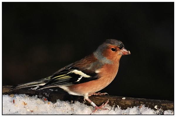 male chaffinch by dden