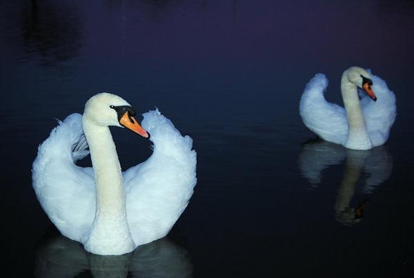 Swan Evening by DunDiggin