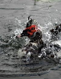 Scovy Splash