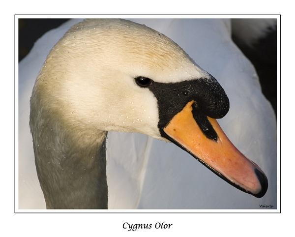 Cygnus Olor by Valerie1